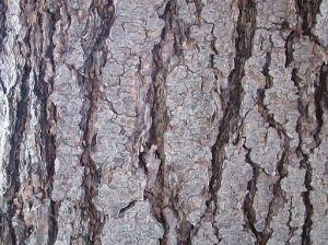 Hemlock Bark